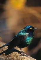Namibia. Lesser Blue-eared Glossy Starling bird Fine Art Print