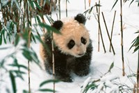 Panda Cub on Snow, Wolong, Sichuan, China by Keren Su - various sizes - $42.99