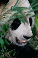 Panda, Wolong, Sichuan, China Fine Art Print