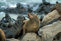 Namibia, Cape Cross Seal Reserve, Two Fur Seals on rocks by Paul Souders - various sizes