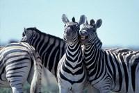 Plains Zebra Side By Side, Etosha National Park, Namibia by Paul Souders - various sizes