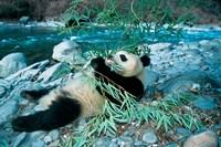 Panda Eating Bamboo by Riverbank, Wolong, Sichuan, China by Keren Su - various sizes - $43.49