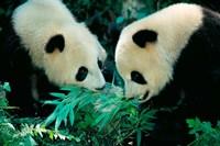 Pandas Eating Bamboo, Wolong, Sichuan, China by Keren Su - various sizes - $43.49