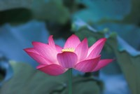 Red Lotus Flower, Hangzhou, Zhejiang Province, China Fine Art Print
