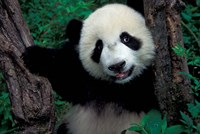 Panda Cub with Tree, Wolong, Sichuan Province, China by Keren Su - various sizes - $43.49