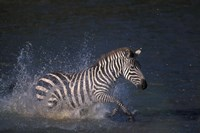 Plains Zebras Splash Through Mara River, Masai Mara Game Reserve, Kenya Fine Art Print