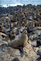 Namibia, Cape Cross Seal Reserve, Fur Seals on shore by Paul Souders - various sizes