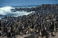 Namibia, Cape Cross Seal Reserve, Group of Fur Seals by Paul Souders - various sizes