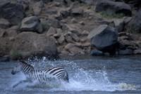 Plains Zebra Crossing Mara River, Serengeti Migration, Masai Mara Game Reserve, Kenya by Paul Souders - various sizes