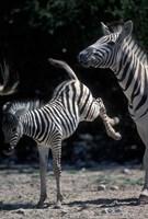 Plains Zebra Kicks, Etosha National Park, Namibia by Paul Souders - various sizes