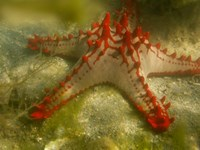 Red Knobbed Starfish, Madagascar, Africa Fine Art Print