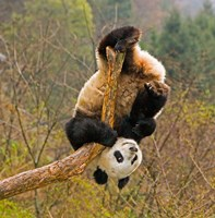 Panda Bear, Wolong Panda Reserve, China Fine Art Print