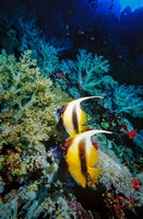 Pair of Red Sea Bannerfish at Daedalus Reef, Red Sea, Egypt Fine Art Print