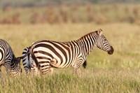 Plains zebra or common zebra in Lewa Game Reserve, Kenya, Africa. by Martin Zwick - various sizes