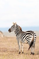 Plains zebra or common zebra in Solio Game Reserve, Kenya, Africa. by Martin Zwick - various sizes
