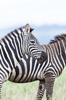 Plains zebra, Lewa Game Reserve, Kenya by Martin Zwick - various sizes