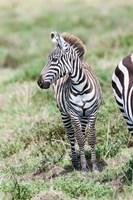 Plains zebra, Maasai Mara, Kenya by Martin Zwick - various sizes