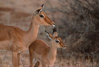 Mother and Young Impala, Kenya Fine Art Print