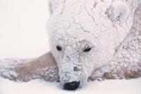 Polar Bear on Hudson Bay, Churchill, Manitoba Fine Art Print