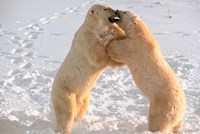 Polar Bears Sparring on Frozen Tundra of Hudson Bay, Churchill, Manitoba Fine Art Print