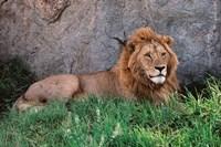 Portrait of Male African Lion, Tanzania Fine Art Print