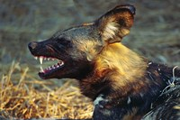 Namibia. Portrait of a wild dog Fine Art Print