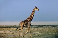 Namibia, Etosha NP, Angolan Giraffe with salt pan by Charles Sleicher - various sizes, FulcrumGallery.com brand