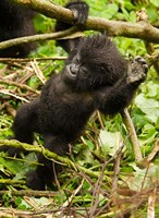 Rwanda, Volcanoes Park, Baby Mountain gorilla Fine Art Print