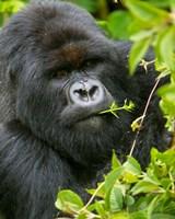 Rwanda, Silverback Mtn Gorilla, Volcanoes NP Fine Art Print