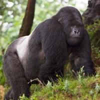 Rwanda, Mountain Gorilla, No 2 Silverback Fine Art Print
