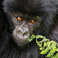Rwanda, Volcanoes NP, Mountain Gorilla Staring Fine Art Print
