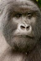 Close up of a Mountain gorilla, volcanoes national park, Rwanda Fine Art Print
