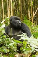 Rwanda, Mountain Gorilla, Silverback by Joe & Mary Ann McDonald - various sizes