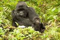 Rwanda, Volcanoes NP, Mountain Gorilla with baby by Joe & Mary Ann McDonald - various sizes