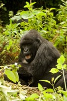 Rwanda, Volcanoes NP, Mountain Gorilla Sitting by Joe & Mary Ann McDonald - various sizes