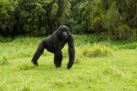 Rwanda, Volcanoes NP, Mountain Gorilla Running by Joe & Mary Ann McDonald - various sizes