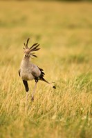 Secretary Bird hunting for food, Lower Mara, Masai Mara Game Reserve, Kenya Fine Art Print