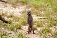 Serengeti, Tanzania, Banded mongoose baby by Joe & Mary Ann McDonald - various sizes