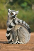 Close up of Ring-tailed Lemur, Madagascar Fine Art Print