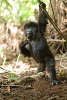 Rwanda, Mountain gorilla, volcanoes national park Fine Art Print