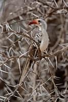 Kenya-billed Hornbill, Samburu Game Reserve, Kenya by Adam Jones - various sizes
