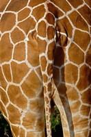 Reticulated Giraffe skin, Samburu Game Reserve, Kenya by Adam Jones - various sizes