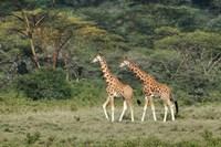 Rothschild's Giraffe, Lake Nakuru National Park, Kenya by Adam Jones - various sizes