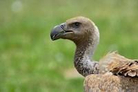 Ruppell's Vulture, Serengeti National Park, Tanzania by Adam Jones - various sizes