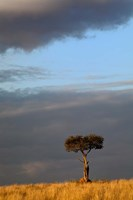 Single Umbrella Thorn Acacia Tree at sunset, Masai Mara Game Reserve, Kenya Fine Art Print