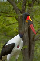 Saddle-billed Stork, Kruger NP, South Africa Fine Art Print