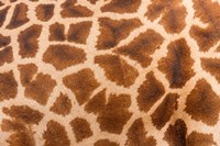Reticulated giraffe, Luangwa Valley, Zambia Fine Art Print