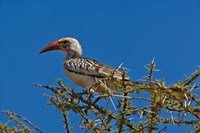 Red-billed Hornbill, Samburu Game Reserve, Kenya by Adam Jones - various sizes