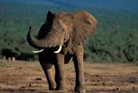 South Africa, Addo Elephant NP, Angry Bull Elephant Fine Art Print