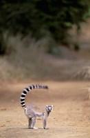 Ring-tailed Lemur, Berenty Reserve, Madagascar Fine Art Print